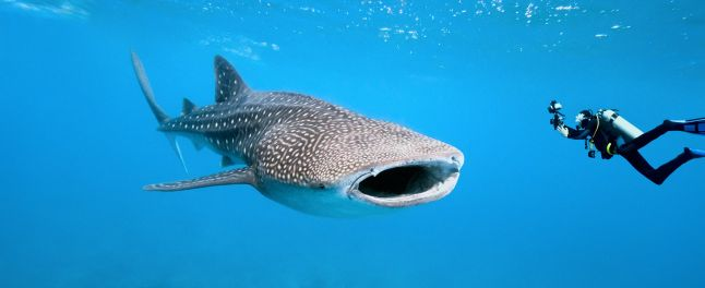 diving-with-whaleshark