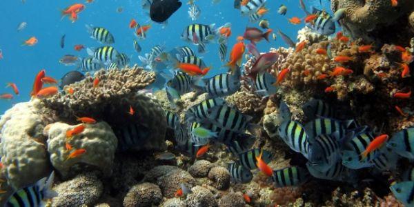 many species of reef fish at Koh Bon