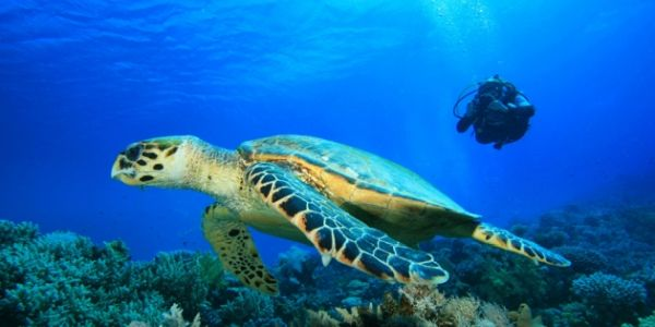 turtle at Turtle Rock with diver