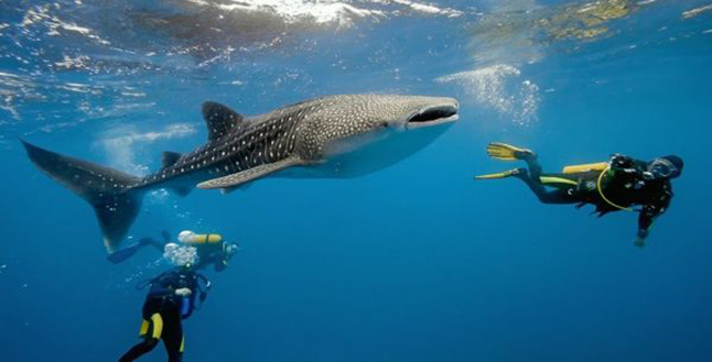 Whaleshark with divers at Koh Tachai