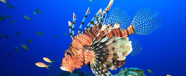 lion fish at Similan Islands